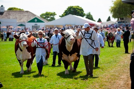 Grand Cattle Parade at the Great Yorkshire Show